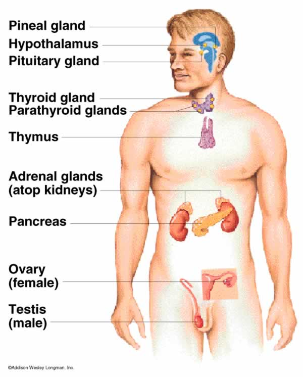 Nervous Endocrine And Cardiovascular Systems Of The Human Body